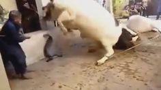 Anari Qasai || Qurbani Of Danger Cow || Eid ul Adha