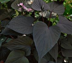 Ornamental Sweet Potatoes, the versatile first cousins of Morning Glories, make striking ground covers and are unequaled cascading over the sides of hanging baskets. These lovely annuals have vigorous vines with deep-veined leaves shaped like hearts and fleurs-de-lis. Count on them to infuse your summer landscape with color and pizzazz.The Ornamental Sweet Potatoes in this series have leaves shaped like hearts. The purple foliage of Ipomoea 'Sweet Caroline Sweetheart Purple' will complement…