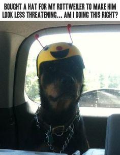 funny rottweiler photos | funny Rottweiler cute hat menacing
