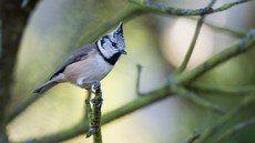 ♫ Carbonero Capuchino - Escucha la voz del pájaro