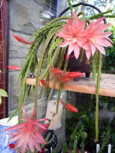 Cacti & Succulents – The Cactus Fairy Unusual Plants, Exotic Plants, Cool Plants, Growing Succulents, Cacti And Succulents, Planting Succulents, Orchid Cactus, Cactus Flower, Beautiful Flowers Garden