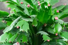Christmas cactus buds