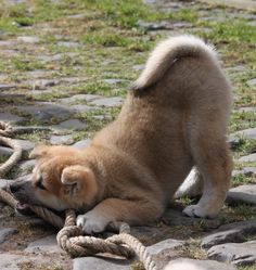 Akita Inu - 8 weeks.  I remember when our big old Tanker looked like this.  Hard to believe it's been almost 7 years!