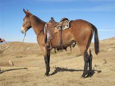 Mule raised in Montana.