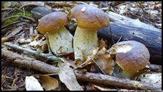 grzyby fungi of Poland mushrooms grzyby jadalne grzyby trujące borowik prawdziwek prawdziwki boletus borowik szlachetny borowik ceglastopory borowik usiatkowany koźlarz kozak muchomor czerwony maślak kanie grzybobranie runo leśne Polska Poland podgrzybki muchomor las forest #grzyby #fungi_of_Poland #mushrooms #grzyby_jadalne #grzyby_trujące #borowik #prawdziwek #prawdziwki #boletus #borowik_szlachetny #borowik_ceglastopory #borowik_usiatkowany #koźlarz #muchomor #Polska #Poland  #las #forest