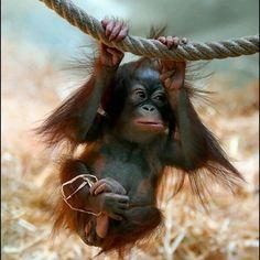 Orangutan baby - Pixdaus