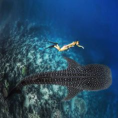 Annelie Pompe freedive with whaleshark in Oslob