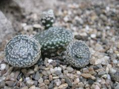 Opuntia clavarioides green form