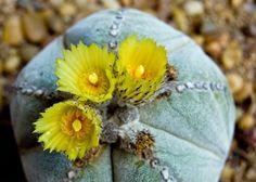 Cómo regar un cactus - http://www.jardineriaon.com/como-regar-un-cactus.html