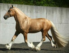 Drum horse stallion, Gunther. A 17 hand, palomino exhibition show horse. The Drum horse is the product of a Gypsy Vanner stallion and a Shire or Clydesdale mare