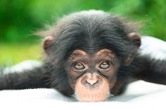 The Kansas City Zoo is proud to announce the names chosen for their adorable baby Orangutan and baby Chimpanzee, born earlier this year. Check out ZooBorns to learn more! http://www.zooborns.com/zooborns/2016/07/kczoo-announces-names-of-two-young-apes.html