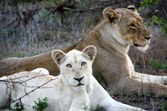 white lion picture | South African Safari 2011 | Wild Wonders Blog