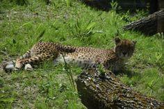 Des guépards et autres nouveaux animaux dès demain à Biotropica