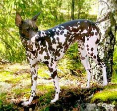 Peruvian Inca Orchid Please someone! Get me this dog!
