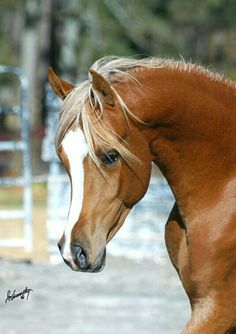 Love the Color of this Arabian mare!! <3