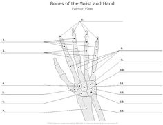 wrist and hand unlabeled diagram 1985 ez go gas golf cart wiring image result for worksheets on functioning anatomy anatomical skeleton