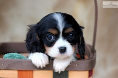 Discover Energetic Cavalier King Charles Spaniel Exercise Needs Cavalier King Charles Blenheim, King Charles Puppy, Cute Puppies, Cute Dogs, Dogs And Puppies, Doggies, Spaniel Puppies, Cocker Spaniel, Cavalier King Spaniel