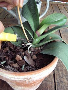 Removing the stem on the orchid: make it bloom again - Garden Orchid Leaves, Orchid Plants, Moth Orchid, Container Gardening, Gardening Tips, Gardening Services, Vegetable Gardening, Orquideas Cymbidium, Growing Orchids