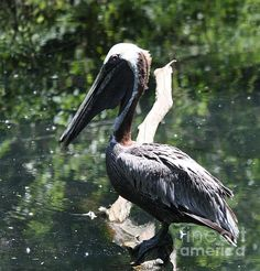 Title  Perched Pelican   Artist  John Telfer   Medium  Photograph