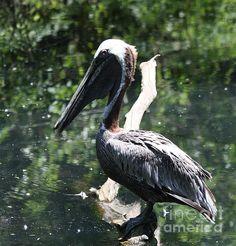 #Pelican by John Telfer