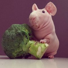 Hairless guinea pig posing with food.