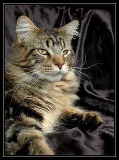 Maine Coon Cats - Everything You Need to Know About Maine Coon Cats