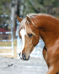 Egyptian Arabian Horses, Beautiful Arabian Horses, Majestic Horse, Andalusian Horse, Friesian Horse, Palomino, Arabian Stallions, Thoroughbred, Black Horses
