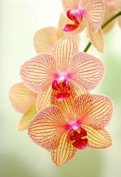 Orchids -My mother-in-law loved anticipating an orchids next bloom.