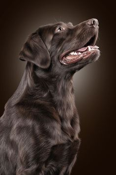 Stunning photo of a gorgeous Labrador!