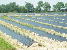 Growing Commercial Lavender in the Midwest Peaceful Acres Farm, Ohio