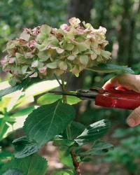 Learn how to prune hydrangeas the right way | Fine Gardening Magazine