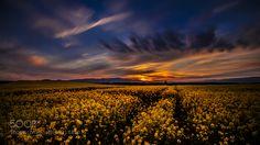 Sunset- Canola Field (Austria) by THFotoDigital. Please Like http://fb.me/go4photos and Follow @go4fotos Thank You. :-)