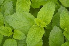 Gentle herbs for soothing colic