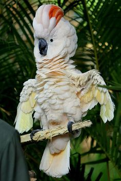 The Moluccan Cockatoo / Salmon-crested Cockatoo (Cacatua moluccensis) is endemic to the south Moluccas in eastern Indonesia. Funny Birds, Cute Birds, Pretty Birds, Beautiful Birds, Animals Beautiful, Cute Animals, Exotic Birds, Colorful Birds, Parrot Bird