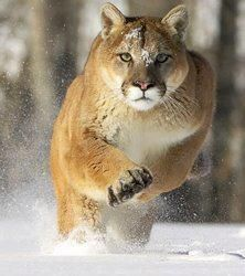 Charging Puma. I pray I am never in a position that I could take this photo....