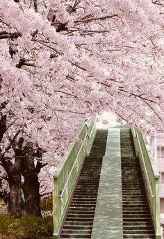 Steps to Sakura, Japan Beautiful World, Beautiful Places, Wonderful Places, Japan Sakura, Kyoto Japan, Tokyo Japan, Sakura Cherry Blossom, Cherry Blossoms, Blossom Trees