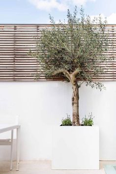 Olive tree in raised planter. Contemporary slatted trellis on top of the walls - Olive tree in raised planter. Contemporary slatted trellis on top of the walls - Outdoor Planters, Garden Planters, Outdoor Gardens, Balcony Garden, Tree Planters, Trees In Pots, Garden Beds, Potted Trees Patio, Terrace