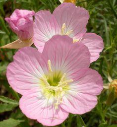 pink evening primrose macro