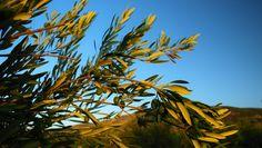 Olivas de la variedad Picual de las que se extrae el zumo que se convertirá en uno de los mejores AOVEs del mundo || Picual variety olives in Jaén (Spain), its juice produces one of the healthiest Extra Virgin Olive Oil in the world.