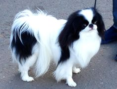 Japanese Chin Pictures | Wallpapers9