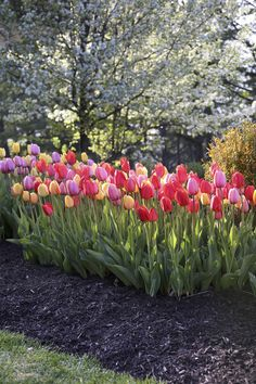 Tulip Darwin Hybrid Mix from Longfield Gardens - Year of the Tulip - National Garden Bureau