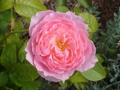 Rose Bibi Maizoon | Flickr - Photo Sharing!