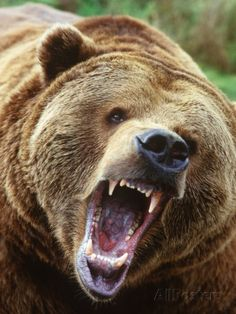 Coastal Grizzly Bear (Ursus Horribilus), Full Face Snarling, British Columbia, Canada. Photographic Print