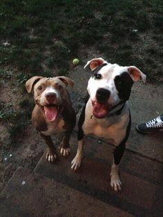Smiley pitbulls :)