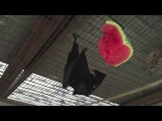 Bat claims watermelon for his own!