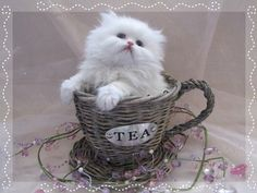 Tea Cup Persian....adorable!! Kittens Cutest, Cats And Kittens, Cute Cats, Funny Cats, Kitty Cats, Cute Photos, Cool Pictures, Teacup Kitten, Beautiful Kittens