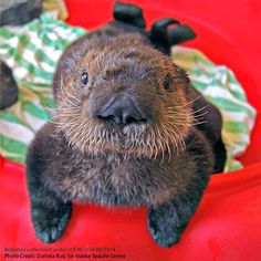Vancouver-Aquarium-Has-Taken-in-Another-Two-Sea-Otter-Pups-2