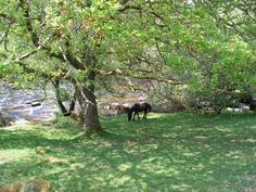 Wild Dartmoor Pony taking refuge from the unusual intense spring sunshine.