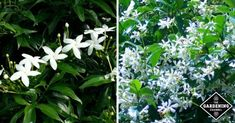 How to Grow Star Jasmine (Confederate Jasmine) - Gardening Channel
