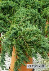 Una dettagliata spiegazione sulle differenze e caratteristiche delle numerose varietà di ginepro: https://informativerde.wordpress.com/2015/07/16/juniperus-varieta-e-cultivar-nel-dettaglio/